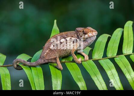 Caméléon panthère (Furcifer pardalis), (Chameleonidae), endémique à Madagascar, Ankanin Ny Nofy, Madagascar Banque D'Images