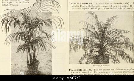 Du milieu de l été 1934 Dreer liste . Le Latania Latania borbonica  borbonica . e6fe269ae70