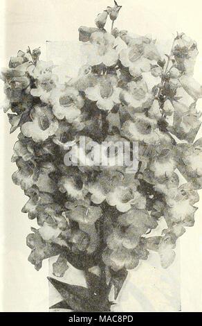 . Dreer est milieu de l'été 1928 liste des . Pentstemon Gloxinioides Sensation par pkt. 3236 Dissitiflora. De nain, port compact, avec des gerbes de fleurs bleu exquis, grande, particulièrement adapté pour la plantation de bulbes à floraison printanière entre 3238 $ Palustris Semperflorens. Un everblooming variété, à commencer à fleurir en mai et continue jusqu'à l'automne. Grandes fleurs bleu clair, assez en sprays. 2 pkts., 25 cts 1515 Lythrum (troubles civils) 3071 Roseum Superbum. Une très jolie plante vivace; de plus en plus de 3 pieds de haut, et produit des épis de fleurs rose de juillet à septembre 10 Banque D'Images