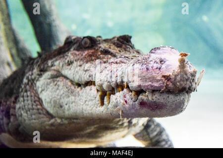 Croc, roi des crocodiles dans l'aquarium de Dubaï Banque D'Images