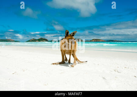 Kangaroo sur Lucky Bay - Cape Le Grand National Park - Australie Banque D'Images