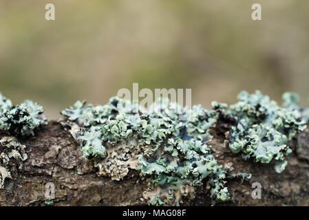 Hypogymnia physodes lichen macro on tree branch Banque D'Images