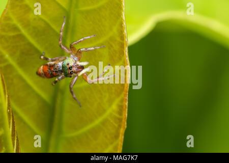 Spinder saut la chasse sur la feuille verte Banque D'Images