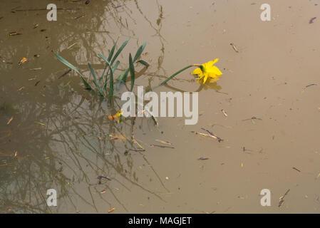 Bidford-on-Avon, dans le Warwickshire, Royaume-Uni, le 2 mars 2018. couleur jaune jonquille se noie dans l'eau des crues printanières sur: Paul Rushton/Alamy Live News Banque D'Images