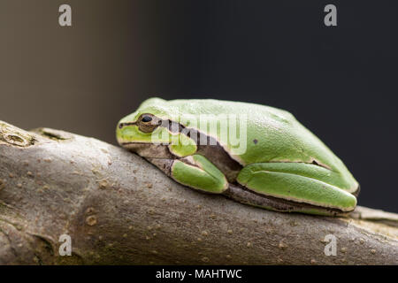 Rainette verte tropicale sur une branche fig devant un arrière-plan sombre, point de vue latérale