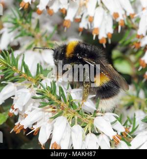 Une reine nouvellement émergés à queue blanche bourdon (Bombus lucorum) se nourrit de nectar de fleurs de bruyère jardin en mars. Bedgebury Forêt, Kent, Angleterre. U Banque D'Images