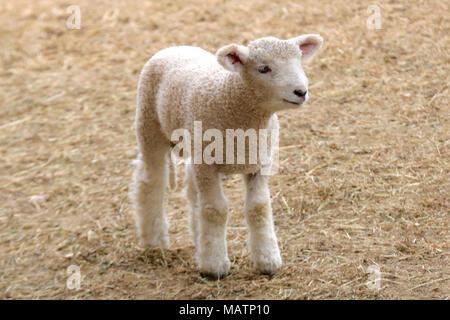 Un petit agneau blanc debout dans une basse-cour Banque D'Images