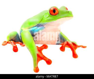 Red eyed tree frog singe de la forêt tropicale du Costa Rica et Panama. Un curieux animal drôle avec des yeux à la plus isolée sur un Banque D'Images