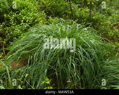 Touffe d'herbe pondéré par gouttes et entouré de buissons de myrtilles, de sous-bois dans une forêt à Oslo en Norvège sur une sombre et jour de pluie Banque D'Images