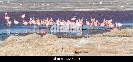 Groupe de flamants roses dans l'eau colorée de la Laguna Colorada, un arrêt populaire sur le Roadtrip à Uyuni, Bolivie Télévision Salf Banque D'Images