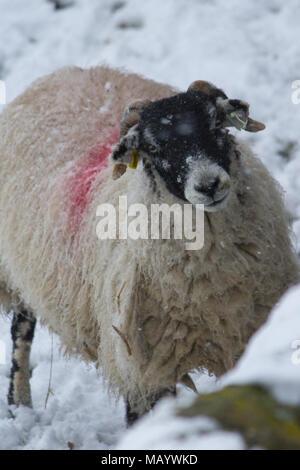 Moutons Swaledale dans la neige Banque D'Images