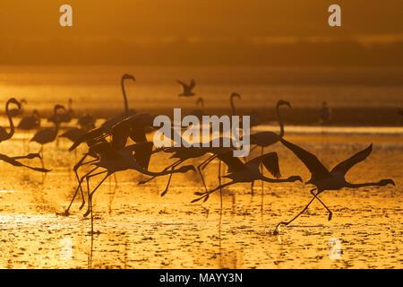Plus de flamants roses (Phoenicopterus roseus), en vol, au coucher du soleil, silhouette, Laguna de Fuente de Piedra, la province de Malaga Banque D'Images