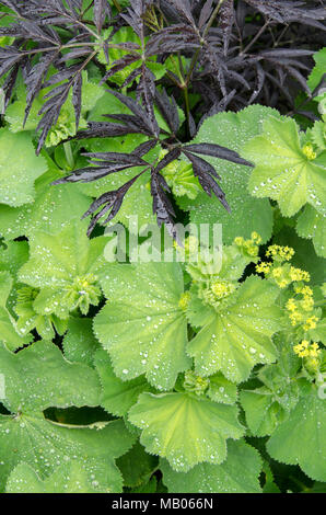 GLASGOW, ÉCOSSE - 11 juin 2013: une plante verte et jaune dans un jardin communautaire dans Possilpark. Banque D'Images
