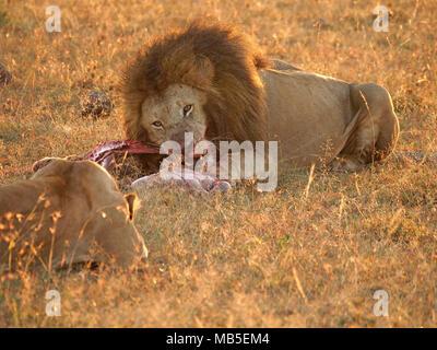 Lumière dorée sur des profils male lion (Panthera leo) crinière sombre dévorant ses proies vu par lionne qu'il pris sur des plaines du Grand Mara, Kenya, Afrique du Sud Banque D'Images