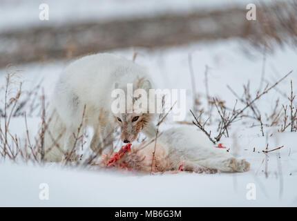 Le cannibalisme. Le renard arctique mangeant un autre renard arctique.