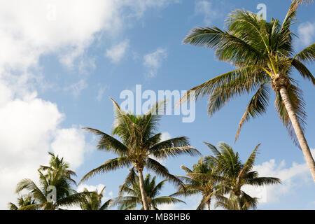 Palmiers et Blue Skys. Banque D'Images
