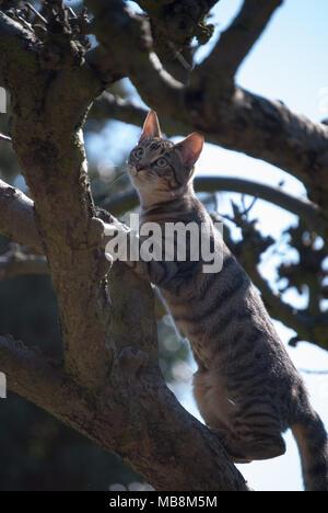 Bengal chat escalade un arbre sans feuilles nues. Chat debout avec le soleil sur elle. Très beau jeune chat. Stripy, poil brillant.Close up photo.ca Banque D'Images