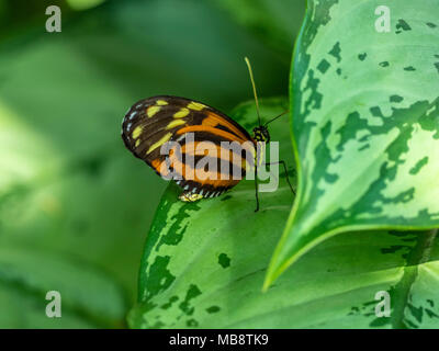 Un papillon sur une feuille Monarc Banque D'Images