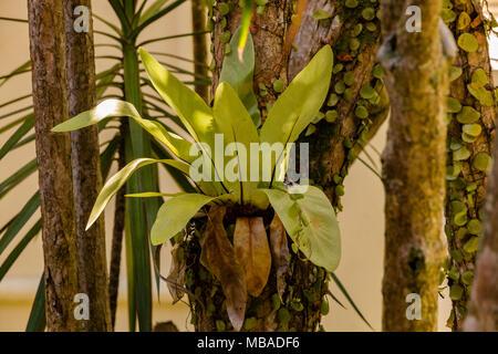 Une petite fougère nid d'oiseau (Asplenium nidus), ce qui est de plus en plus sur un arbre en Malaisie. C'est une plante épiphyte originaire de l'Asie du Sud-Est tropical.