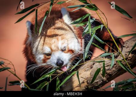 Un panda rouge (Ailurus fulgens) dans un arbre. Banque D'Images