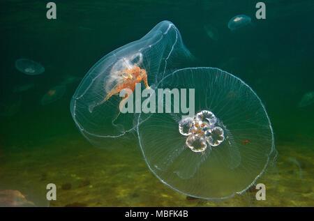 (Ohrenqualle Mond-Qualle auch Aurelia aurita) genannt, Ostsee, Deutschland | Moon jelly (Aurelia aurita), mer Baltique, Allemagne Banque D'Images