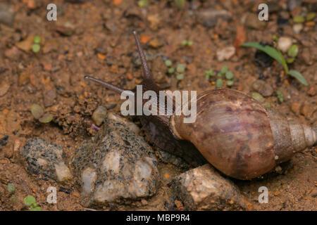 Extreme close-up of brown snail dans Sabah, Bornéo Banque D'Images