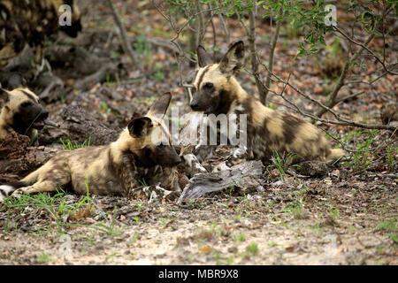 Deux lycaons (Lycaon pictus), adulte, manger des proies, le comportement social, Sabi Sand Game Reserve, Kruger National Park Banque D'Images