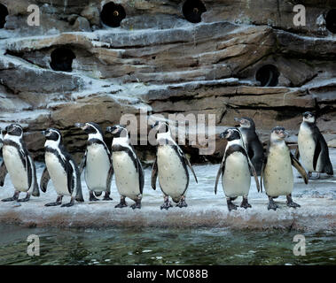 WA15119-00...WASHINGTON - les pingouins de Humboldt alignés et prêts à sauter à l'eau au moment de l'alimentation à Woodland Park Zoo de Seattle penguin exposition.