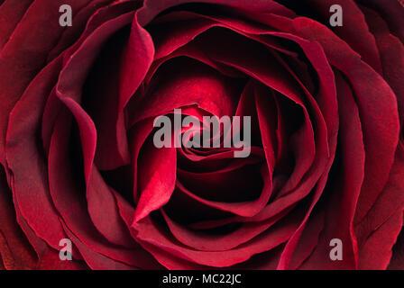 Fleur Rose texture et motif naturel, Close up, abstract background Banque D'Images
