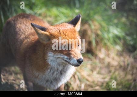 Le renard roux (Vulpes vulpes) est le plus grand des vrais renards. Ce renard a été vu à la British Wildlife Centre, Surrey, Angleterre Banque D'Images