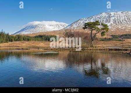 Le pin sylvestre (Pinus sylvestris) le long de Loch Tulla dans les Highlands écossais en hiver, l'Argyll and Bute, Ecosse, Royaume-Uni