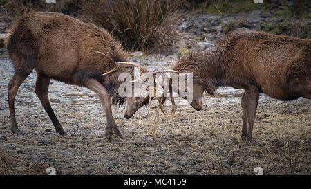 Un close up image d'une paire de cerfs rouges et lutte contre leurs bois de verrouillage Banque D'Images
