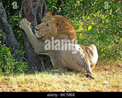 Young adult male lion (Panthera leo) griffes grattant sur un tronc d'arbre dans le Masai Mara, Kenya, Afrique Banque D'Images