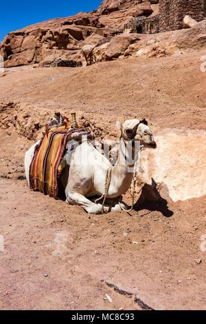 Close up animal au repos sur le sable du désert de Sinaï, Égypte Banque D'Images
