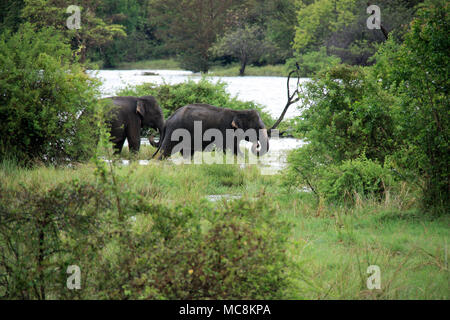 Deux éléphants sauvages jouent près de la route au Sri Lanka Banque D'Images
