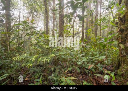 Les jeunes Podocarpus arbre qui pousse dans la forêt tropicale de montagne brumeuse haut sur un plat en grès recouvert Tepuy (montagne) au-dessus de Rio Nangaritza, le sud de l'Équateur Banque D'Images