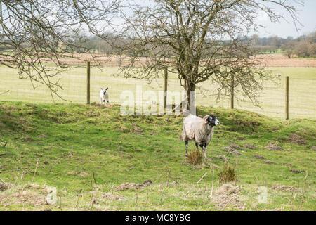 Agneau sur le mauvais côté de la clôture de sa mère - UK Banque D'Images