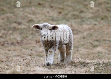 Un agneau laineux blanc marcher dans un champ au printemps Banque D'Images