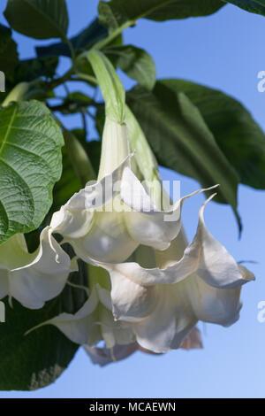 Trompette des anges, Liten) Brugmansia arborea (änglatrumpet Banque D'Images