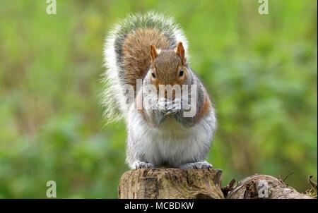 Portrait d'un écureuil gris dans la campagne galloise Royaume-uni uk Banque D'Images