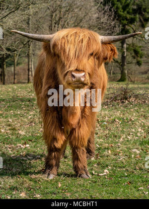 Vache Highland en milieu naturel Banque D'Images