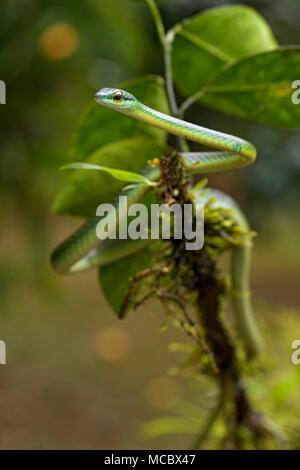 La vigne à nez court Serpent - Oxybelis brevirostris, beau petit serpent vert venoumous non d'Amérique centrale, Costa Rica.