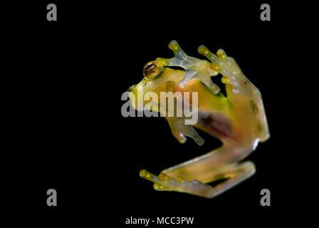 Grenouille de verre réticulé - Hyalinobatrachium valerioi, belle petite grenouille verte et jaune à partir de forêts de l'Amérique centrale, le Costa Rica. Banque D'Images
