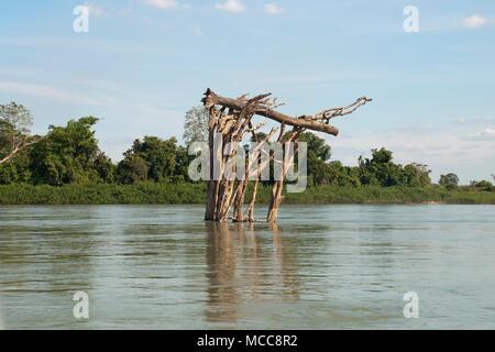 Stung Treng, au Cambodge, en arbre mort à coffre bloqué en auvent dans la forêt inondée du Mékong entre Stung Treng et la frontière lao dans la mer à sec
