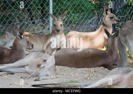 Groupe ou d'une foule de kangourous Banque D'Images