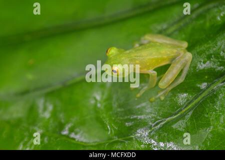Fleischmann's Glass Frog - Hyalinobatrachium fleischmanni, belle petite grenouille verte et jaune à partir de forêts de l'Amérique centrale, le Costa Rica. Banque D'Images