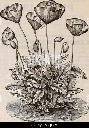 . LuLip coquelicot. Seul ANNUAE COQUELICOTS. DouBLK- Carnation Coquelicots Fleurs Coquelicots Shirley. par PKT. 3691 Daiiisli Danebrog', ou des croix. Variété très voyantes, produisant de grandes fleurs simples, d'écarlate, brillant avec une médaille d3--tache blanche sur chaque pétale, formant ainsi une croix blanche 53696 Shirlej-. Ces coquelicots- charme sont célibataires ou semi-doubles. La gamme de couleurs, allant de blanc pur à travers les plus del- icate piiil; pâle nuances de rose carmin, â et de la pourpre, la plus profonde est si variée qu'à peine deux sont semblables, bien que de nombreux composants sont délicatement et rayé. Les fleurs, si couper lorsque les jeunes, Banque D'Images