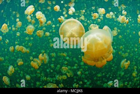 Repéré les gelées (Mastigias papua) dans un lac d'eau salée intérieure, l'île Eil Alcm, Palau, Micronésie Banque D'Images