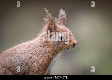 Un gros plan tête portrait d'un écureuil rouge très alerte maintenant son œil ouvert pour les prédateurs