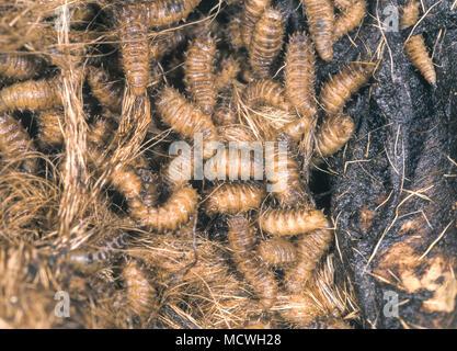 Moindre mouche domestique, Fannia canicularis. Larves sur carcasse animale putride. Les larves nécessitent 6 ou plusieurs jours pour atteindre la nymphose, qui dure sept ou Banque D'Images